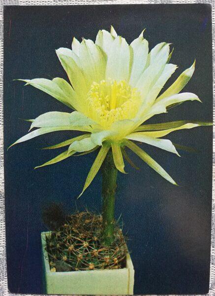 """Kaktuss """"Pseudolobivia orozasana"""" 1984 10,5x15 cm V. Trubitsina foto"""