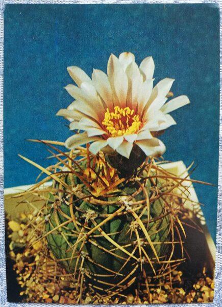 """Kaktuss """"Gymnocalycium Cardenas"""" 1984 10,5x15 cm V. Trubitsina foto"""