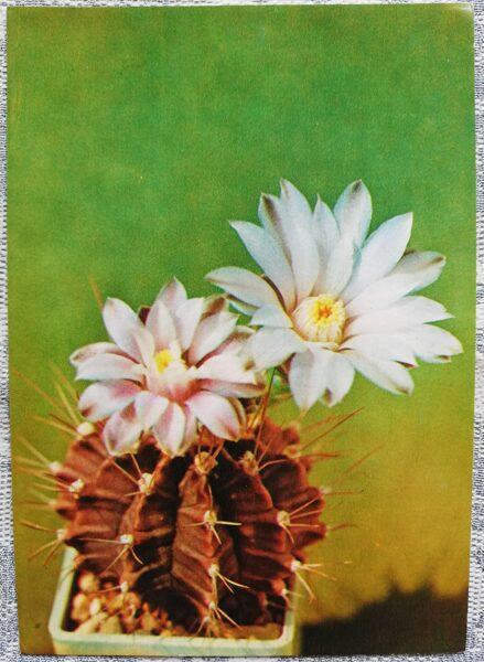 "Kaktuss ""Gymnokalycium Mikhanovich, Frīdriha veids"" 1984 10,5x15 cm V. Trubicina foto"