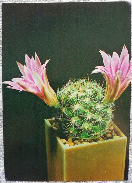 """Kaktuss """"Mamillaria Buļa"""" 1984 10,5x15 cm V. Trubitsina foto"""