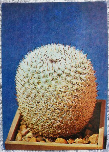 """Kaktuss """"Mamillaria pseudoperbella Quehl"""" 1984 10,5x15 cm V. Trubitsina foto"""