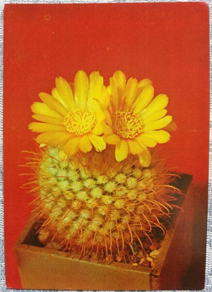 """Kaktuss """"Parodia aureispina Backbg"""" 1984 10,5x15 cm V. Trubicina foto"""