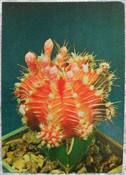 """Kaktuss """"Gymnokalycium Mikhanovich, Frīdriha šķirne, sarkanā forma"""" 1984 10,5x15 cm V. Trubicina foto"""