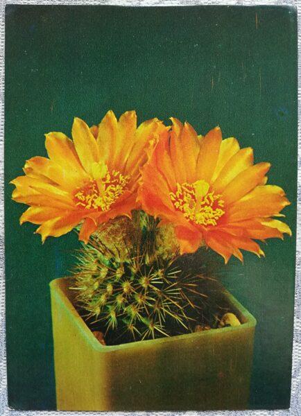 """Kaktuss """"Parodia faustiana Backbg"""" 1984 10,5x15 cm V. Trubicina foto"""