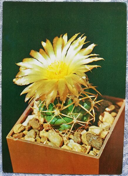 "Kaktuss ""Coryphanta sulcolanata Lem."" 1984 10,5x15 cm V. Trubitsina foto"