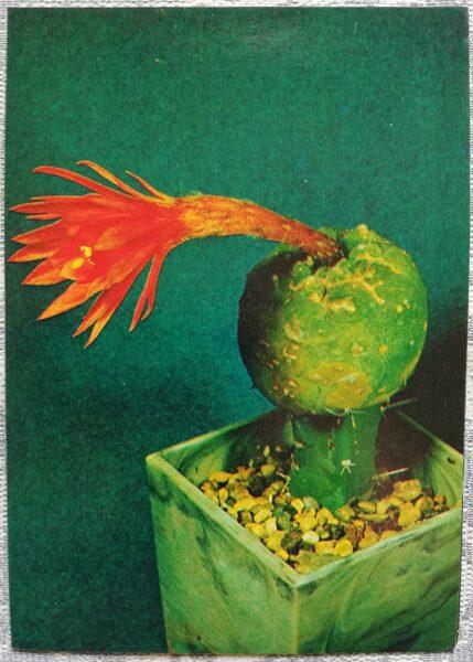 "Kaktuss ""Submatucana madisoniorum Backg."" 1984 10,5x15 cm V. Trubitsina foto"