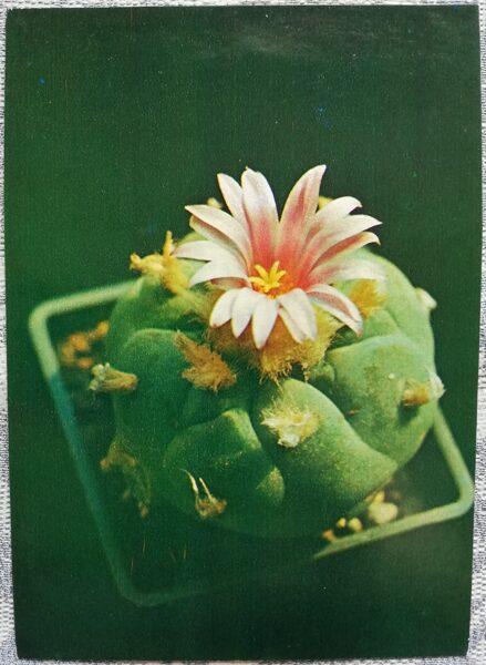 "Kaktuss ""Lophophora williamsii, maldinoša šķirne"" 1984 10,5x15 cm V. Trubitsina foto"