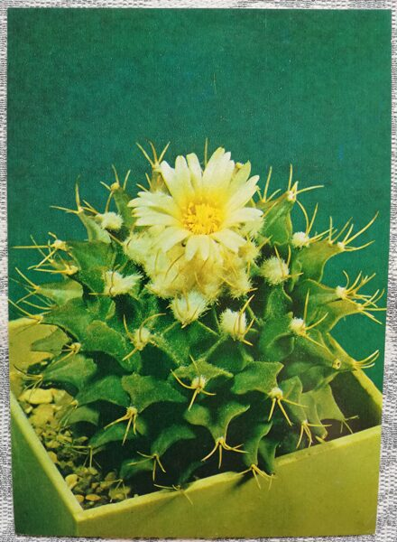 """Kaktuss """"Obregonia denegrii Fric"""" 1984 10,5x15 cm V. Trubitsina foto"""