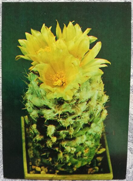 "Kaktuss ""Turbinicarpus lophophoroides"" 1984 10,5x15 cm V. Trubitsina foto"
