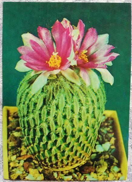 """Kaktuss """"Pelecyphora aselliformis Ehrenbg"""" 1984 10,5x15 cm V. Trubitsina foto"""