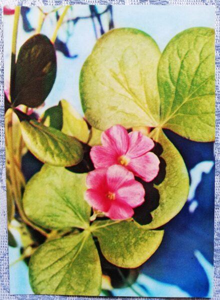"Houseplants ""Large-flowered oxalis"" 1983 postcard 10.5x15 cm Photo by R. Voronov"