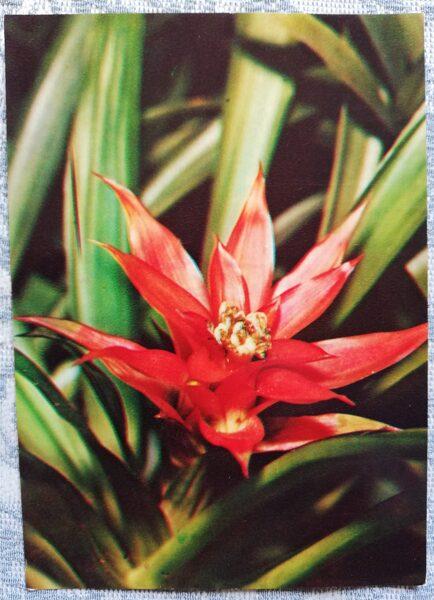 "Houseplants ""Gusmania reed"" 1983 postcard 10.5x15 cm Photo by R. Voronov"