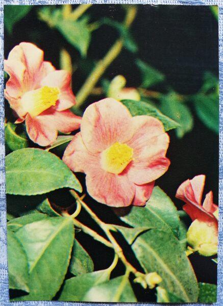 "Houseplants ""Japanese Camellia"" 1983 postcard 10.5x15 cm Photo by R. Voronov"