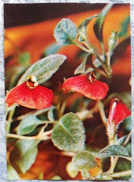 "Houseplants ""Hypocyrta nummularia"" 1983 postcard 10.5x15 cm Photo by R. Voronov"