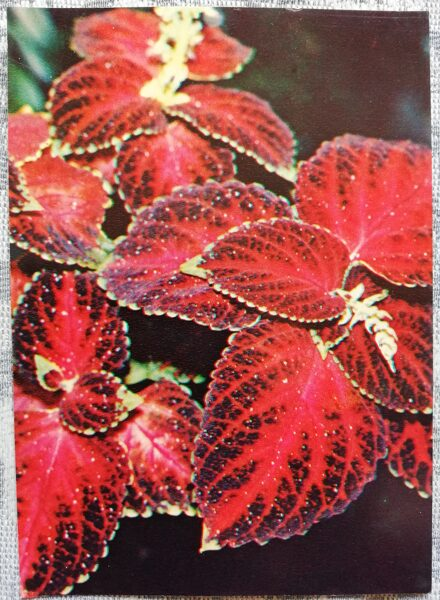 "Houseplants ""Coleus scutellarioides"" 1983 postcard 10.5x15 cm Photo by R. Voronov"