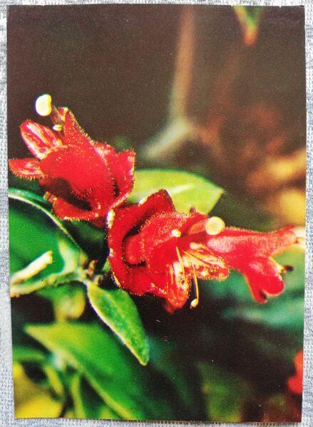 "Houseplants ""Aeschynanthus obconicus C.B.Clarke"" 1983 postcard 10.5x15 cm Photo by R. Voronov"