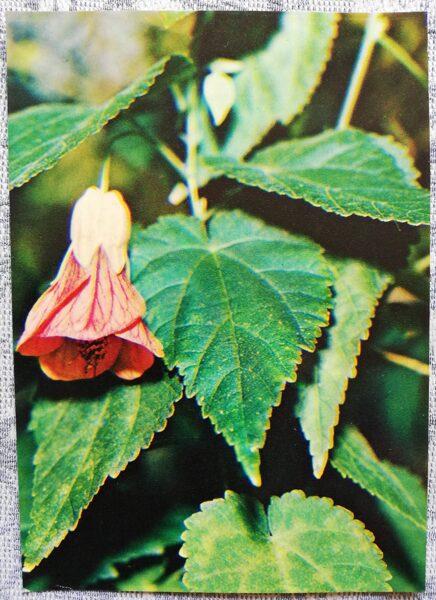 "Houseplants ""Abutilon Megapotamicum"" 1983 postcard 10.5x15 cm Photo by R. Voronov"