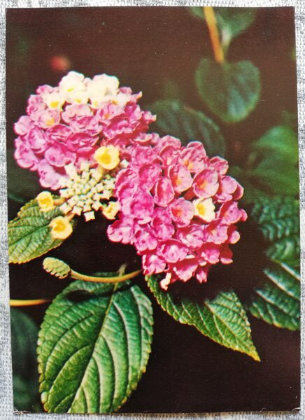 "Houseplants ""Lantana camara"" 1983 postcard 10.5x15 cm Photo by R. Voronov"