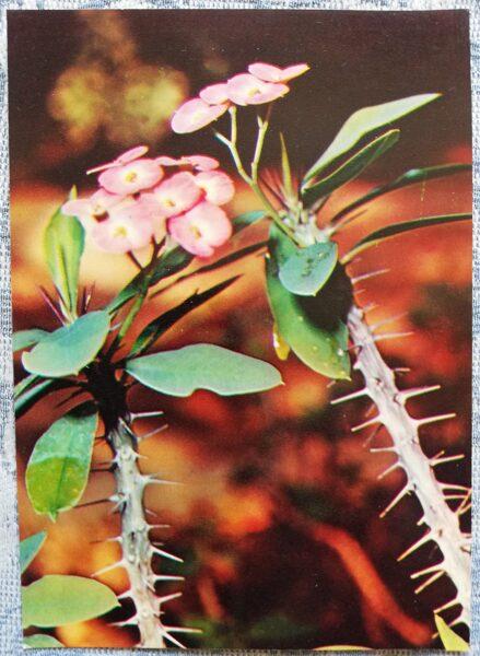 "Houseplants ""Euphorbia splendens"" 1983 postcard 10.5x15 cm Photo by R. Voronov"