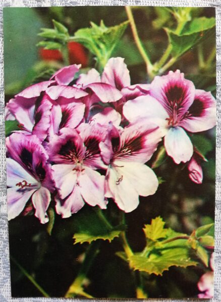 "Houseplants ""Pelargonium grandiflorum"" 1983 postcard 10.5x15 cm Photo by R. Voronov"