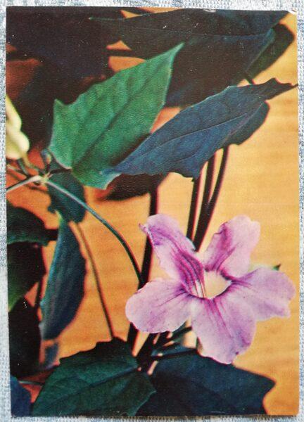 "Houseplants ""Thunbergia grandiflora"" 1983 postcard 10.5x15 cm Photo by R. Voronov"