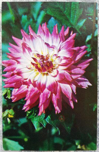"""Dālijas """"Papīra laterna"""" 1974. gada pastkarte 9x14 cm N. Matanova foto"""