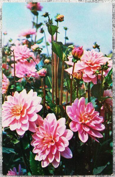 """Dālijas """"Geri Hawk"""" 1974. gada pastkarte 9x14 cm N. Matanova foto"""