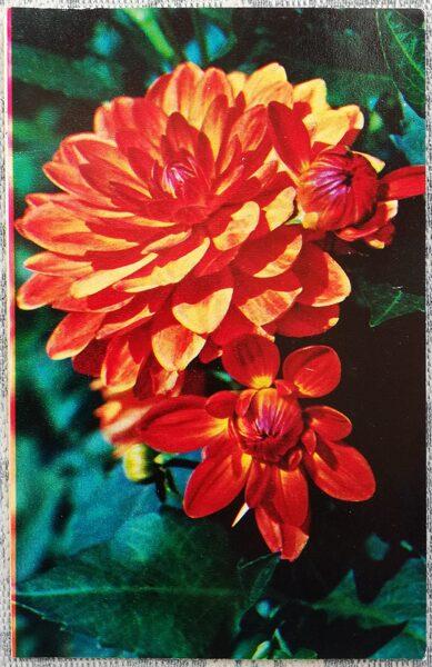 "Dālijas ""Triumfs"" 1974. gada pastkarte 9x14 cm N. Matanova foto"
