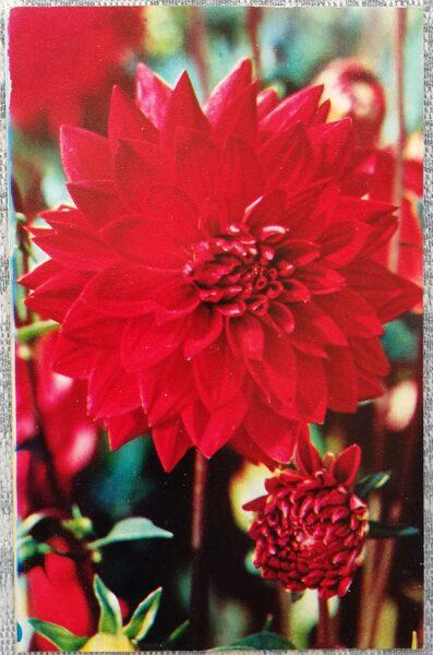 """Dālijas """"Brāzma"""" 1974. gada pastkarte 9x14 cm N. Matanova foto"""