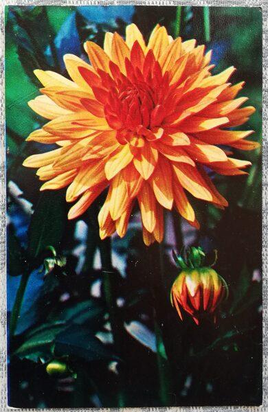 """Dālijas """"Lapkritis"""" 1974. gada pastkarte 9x14 cm N. Matanova foto"""