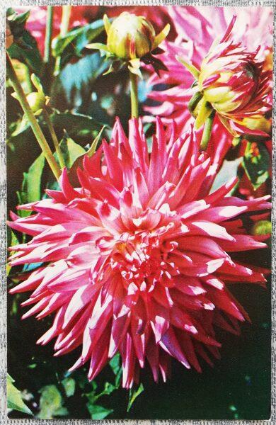 """Dālijas """"Spīdošs"""" 1974 pastkarte 9x14 cm N. Matanova foto"""
