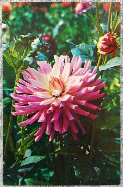 "Dālijas ""Jaunkundze Simone Saccoman"" 1974. gada pastkarte 9x14 cm N. Matanova foto"