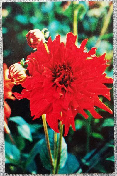 """Dālijas """"Krievija"""" 1974. gada pastkarte 9x14 cm N. Matanova foto"""
