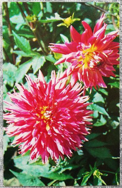 """Dālijas """"Persijas melodijas"""" 1974. gada pastkarte 9x14 cm N. Matanova foto"""