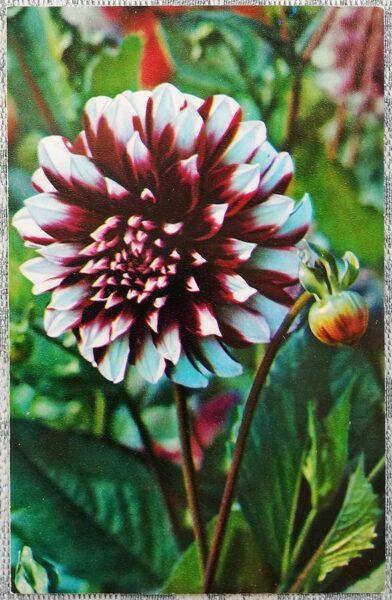 """Dālijas """"Fantoms"""" 1974. gada pastkarte 9x14 cm N. Matanova foto"""