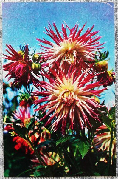 "Dālijas ""Nagels Fenomens"" 1974. gada pastkarte 9x14 cm N. Matanova foto"