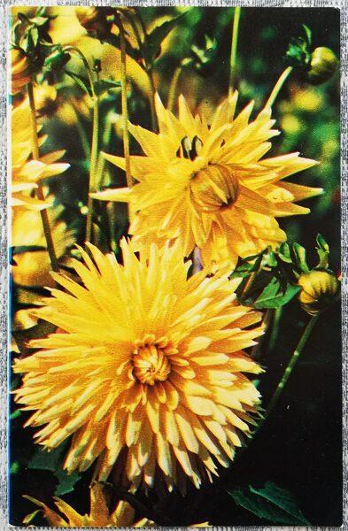 """Dālijas """"Siluets"""" 1974. gada pastkarte 9x14 cm N. Matanova foto"""