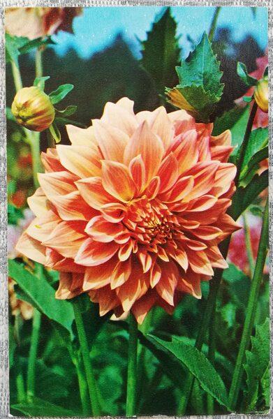 """Dālijas """"Kamed Angel"""" 1974. gada pastkarte 9x14 cm N. Matanova foto"""