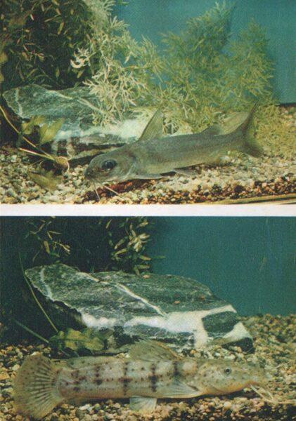 Pastkarte akvārija zivtiņas. Alumīnija sams. Plakangalvas violeta sams. 1984. gada 10,5x15 cm
