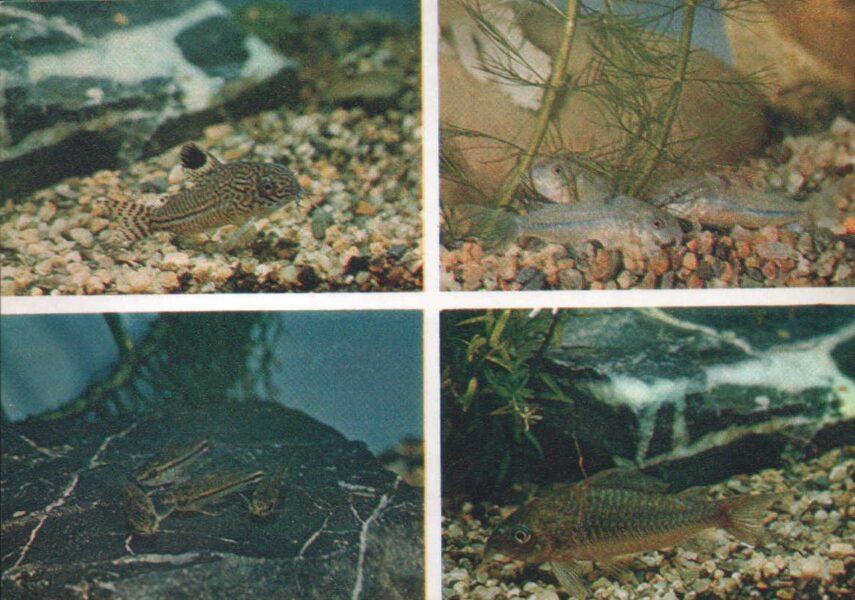 Pastkarte akvārija zivtiņas. Trīs līniju un zaļais sams. Sams Nattera un Pigmejs. 1984. gada 15x10,5 cm