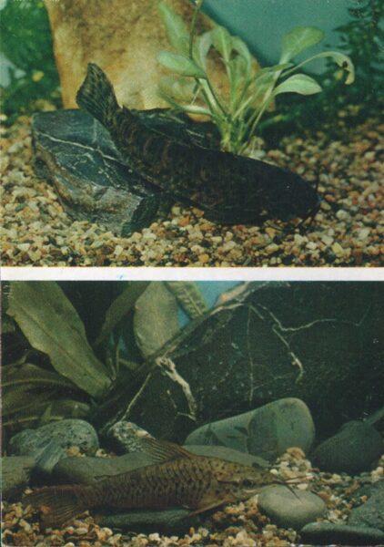 Pastkarte akvārija zivtiņas. Plankumainais Hoplosternum. Bronzas Diānema. 1984. gada 10,5x15 cm