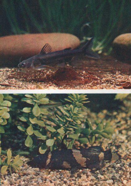Pastkarte akvārija zivtiņas. Zobenvalis-pelīte. Siāmas zobenvalis. 1984. gada 10,5x15 cm