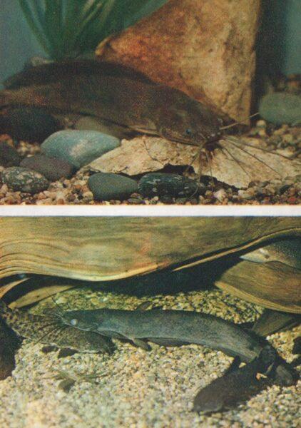 Pastkarte akvārija zivtiņas. Angolas Clarius. Maisžaunu sams. 1984. gada 10,5x15 cm