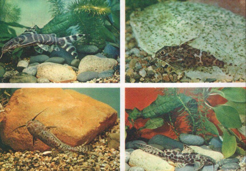 Pastkarte akvārija zivtiņas. Melni svītrains sinodontijs. Violeta plankumains sinodontijs. 1984. gada 15x10,5 cm