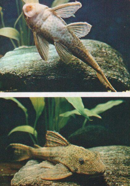 Pastkarte akvārija zivtiņas. Plecostomus. 1984. gada 10,5x15 cm