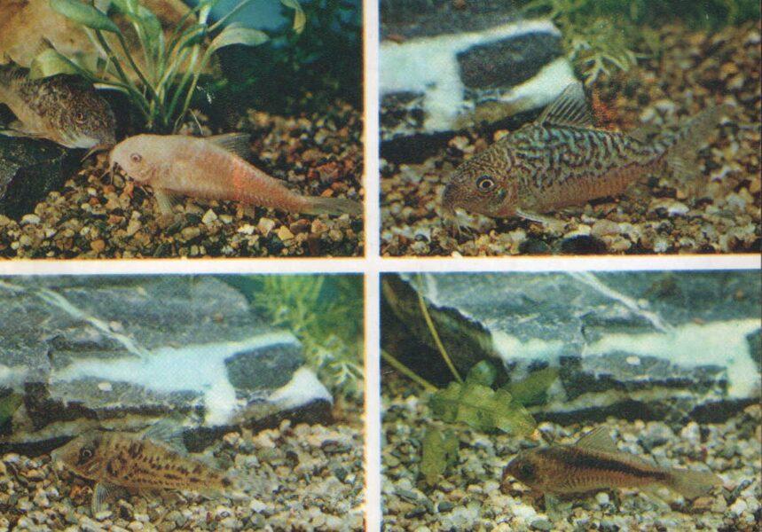 Pastkarte akvārija zivtiņas. Raibs un rakstains sams. Sams Agasica un Rabo. 1984. gada 15x10,5 cm