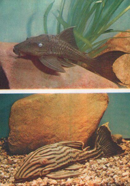 Pastkarte akvārija zivtiņas. Melnās līnijas panak. 1984. gada 10,5x15 cm