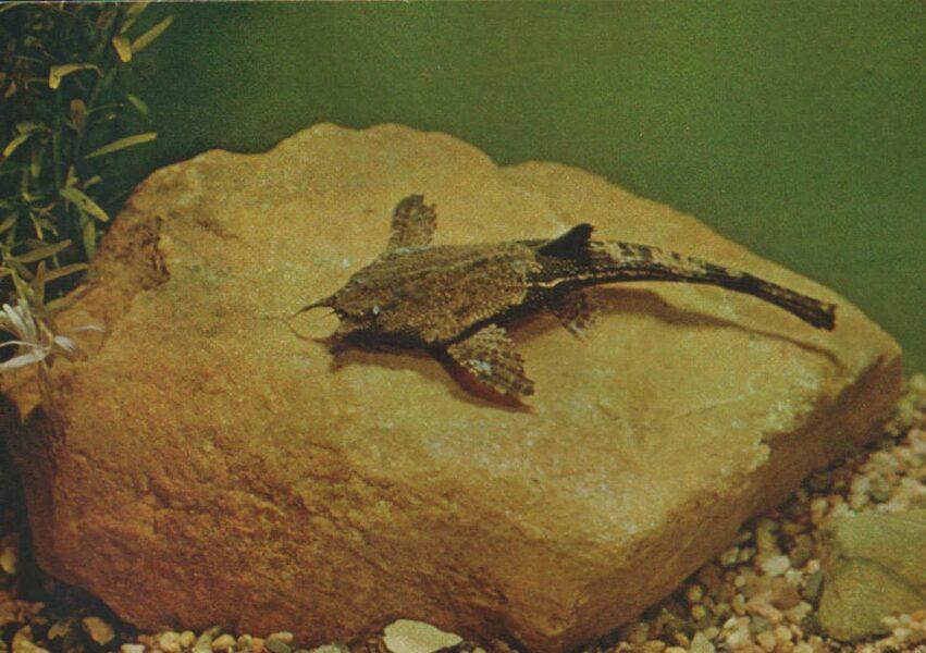 Pastkarte akvārija zivtiņas. Bunocephalus Knera. 1984. gada 15x10,5 cm