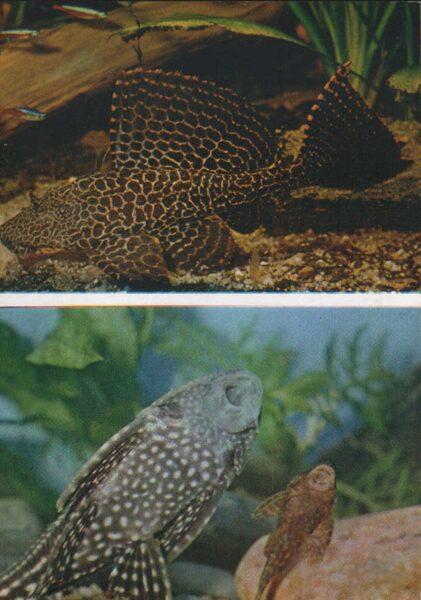 Pastkarte akvārija zivtiņas. Pterygoplichthys gibbiceps. 1984. gada 10,5x15 cm