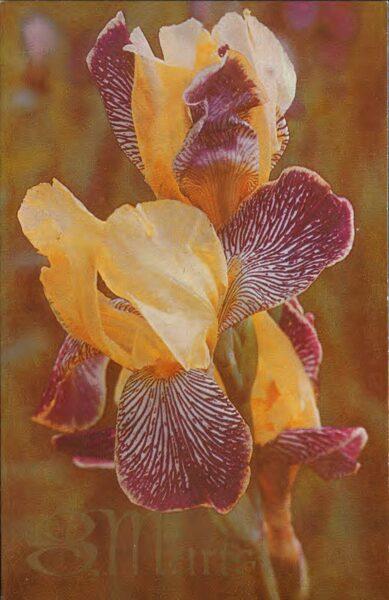 """Apsveikuma pastkarte """"8. marts"""" Īrisi 1978. gada """"Liesma"""" 9x14 cm"""